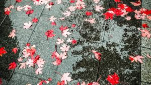 Red maple leafs in Vancouver BC