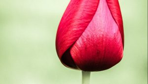 Follow promptings red tulip with green backgroud