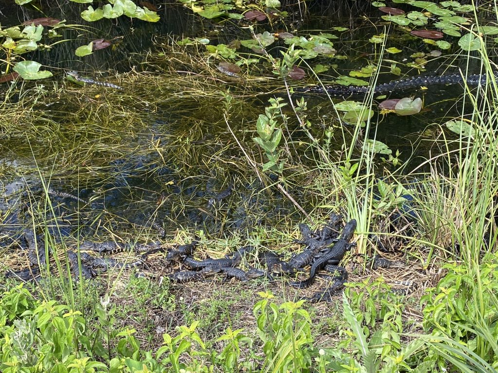 Pod of baby alligators in Shark Valley