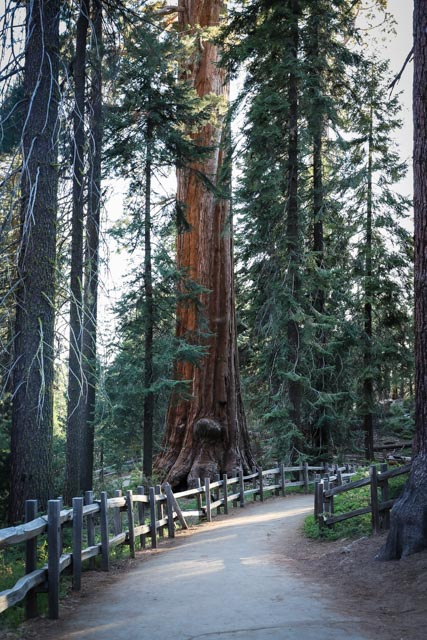giant sequoia in kings canyon
