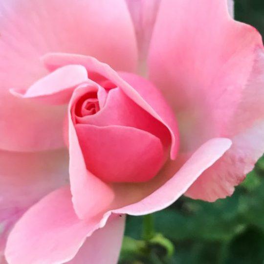 Favorite photos of Prague pink rose in garden
